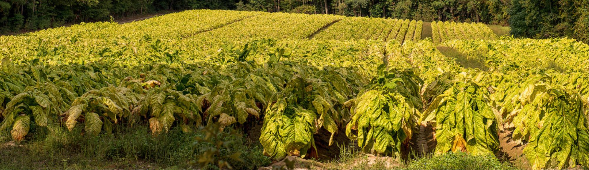 Child Workers Are Getting Nicotine Poisoning on US Tobacco Farms