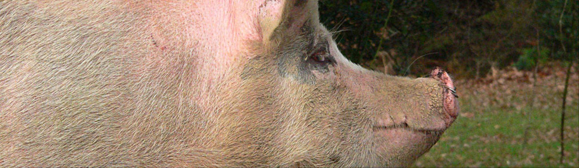 A Virus That Killed 7 Million Swine Has Reemerged in Indiana
