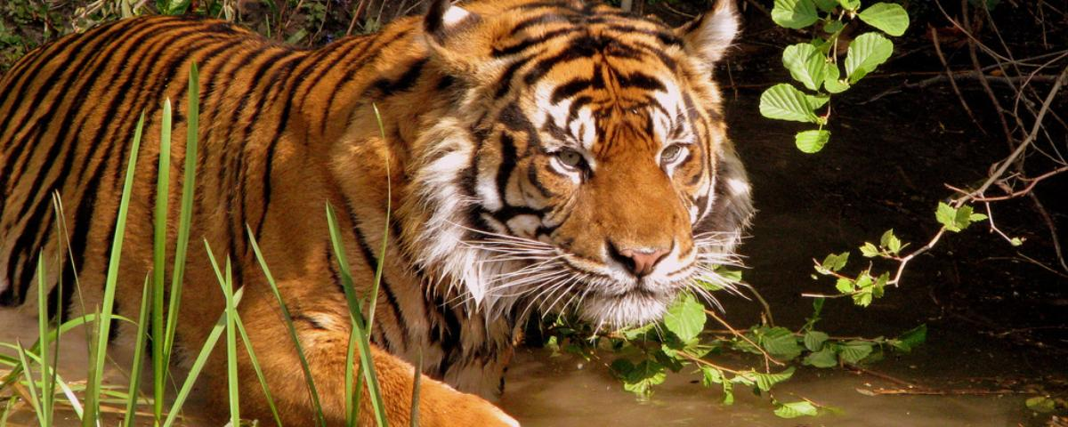 New York Passes Bill That Could Limit Selfies With Tigers