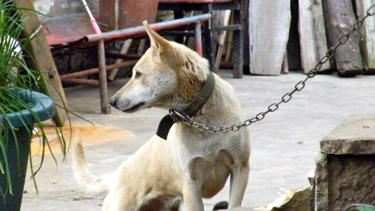 china slaughters nearly 5 000 dogs in one city to curb rabies vice