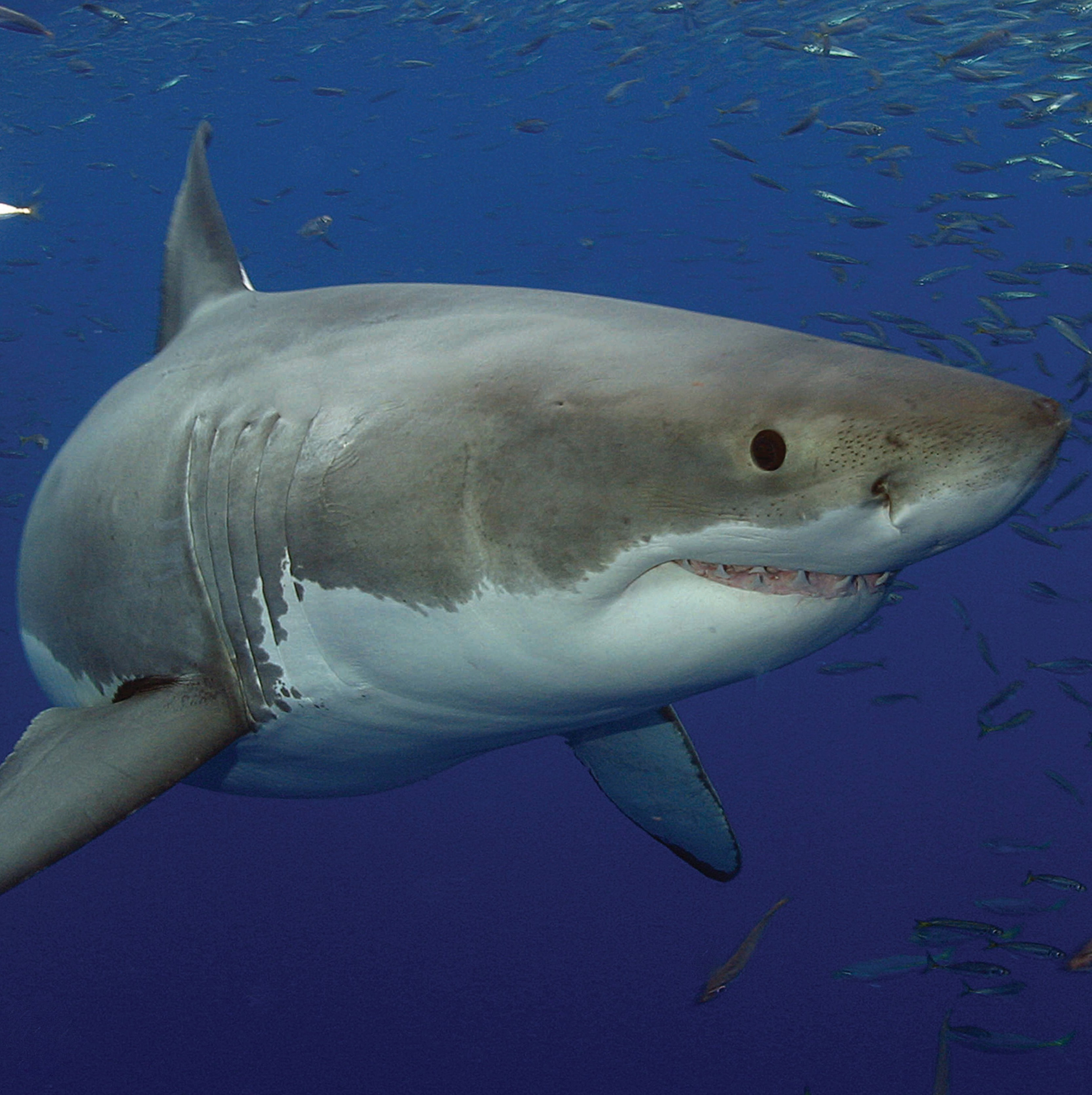 shark vice news western shark cull halted as environmental regulator steps in