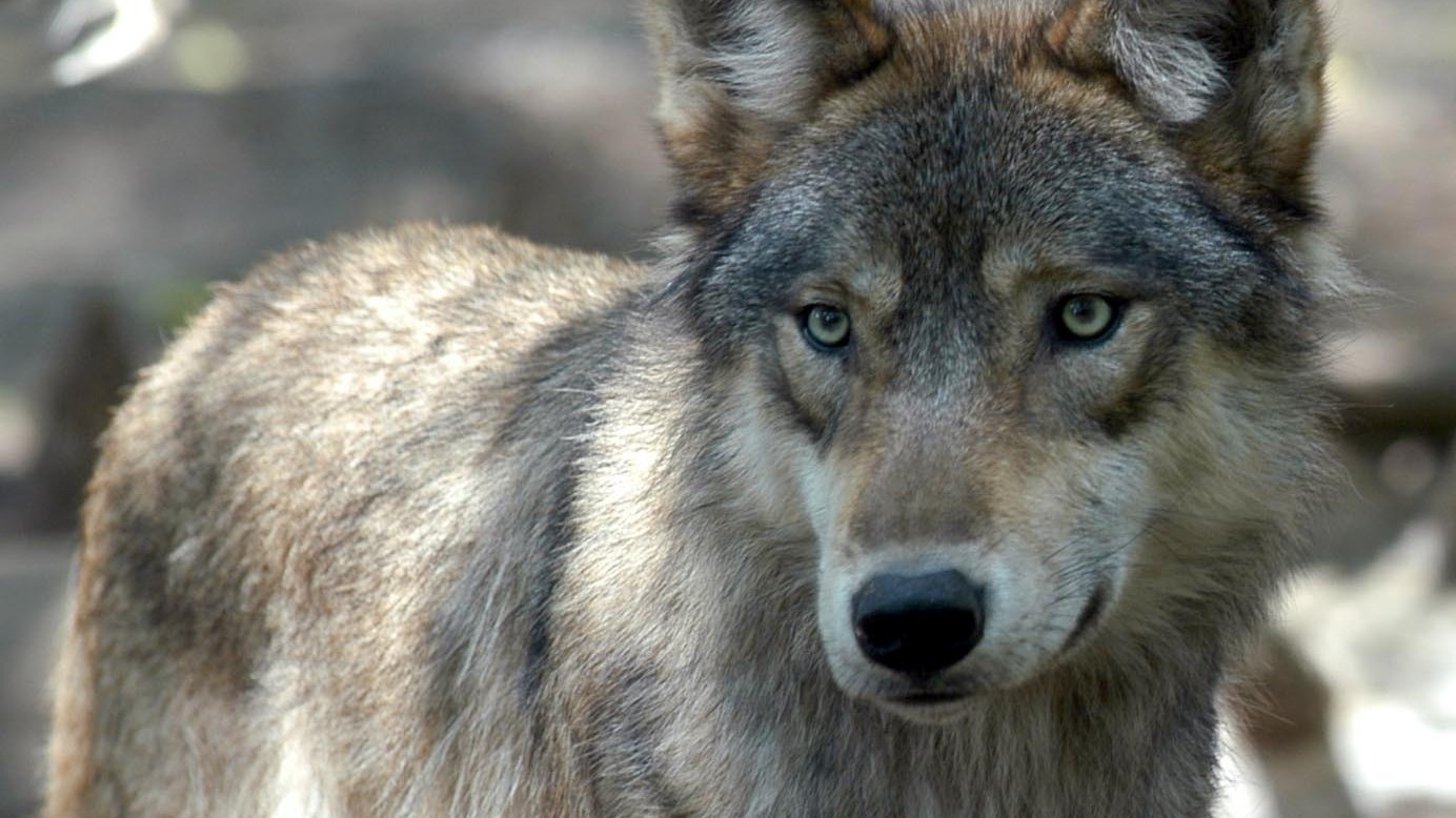 Animal Rights Activists Target Wisconsin's Annual Grey Wolf Hunt