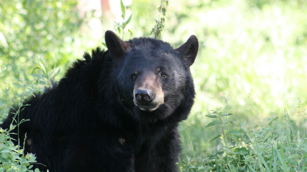 Hunters In Maine Are Legally Baiting Bears With Donuts — But Perhaps For Not Much Longer