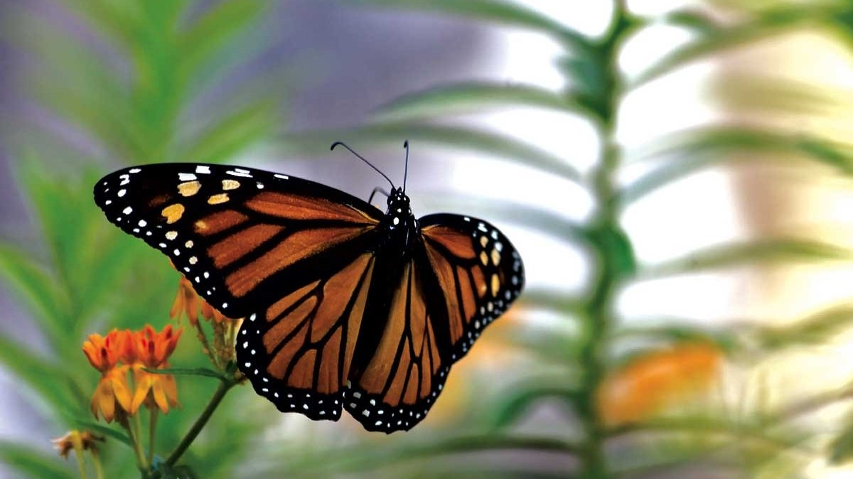 The Monarch Butterfly Might Soon Be Listed As An Endangered Species