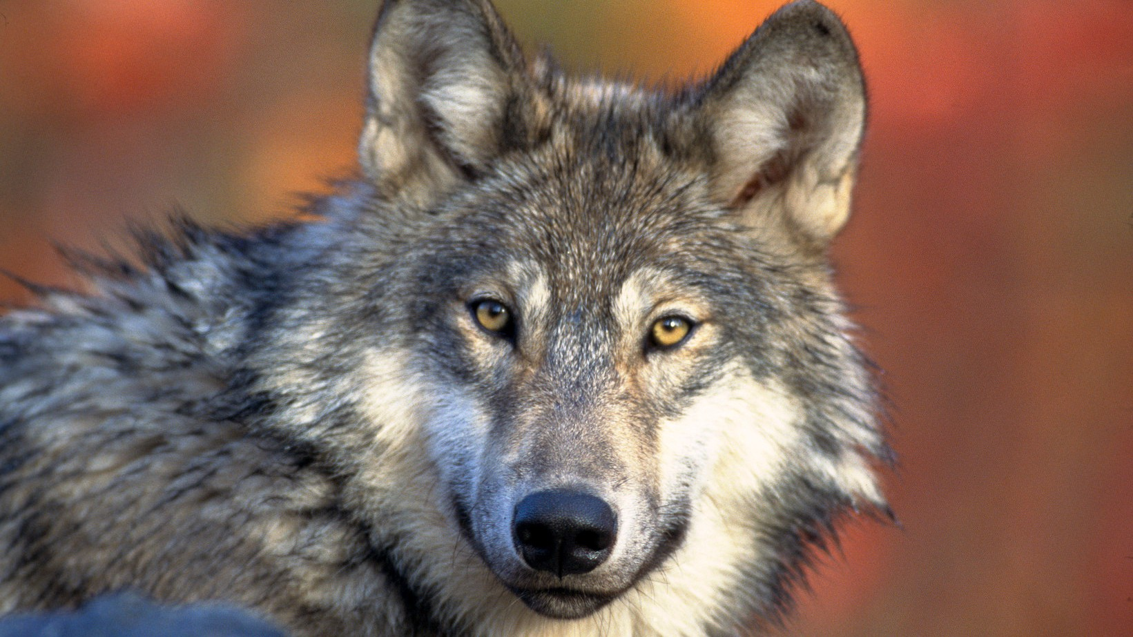 Members of Congress Want to Remove the Gray Wolf From the Endangered Species Act