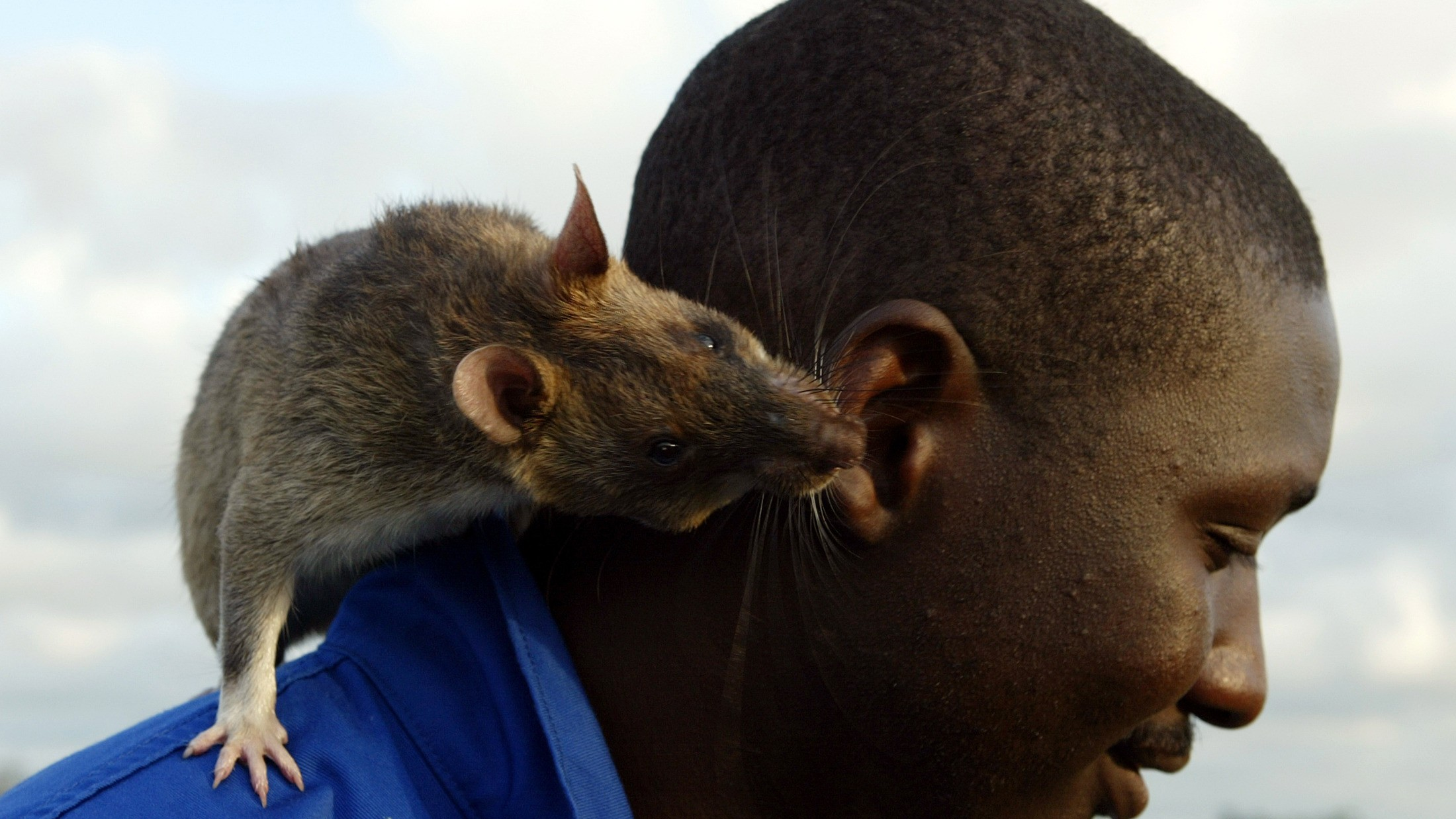 Giant Rats Are Helping Doctors in Mozambique Sniff Out Tuberculosis