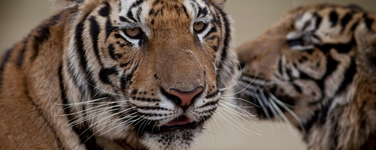 Thai Authorities Raid Famous Buddhist Tiger Temple for Alleged Wildlife Trafficking