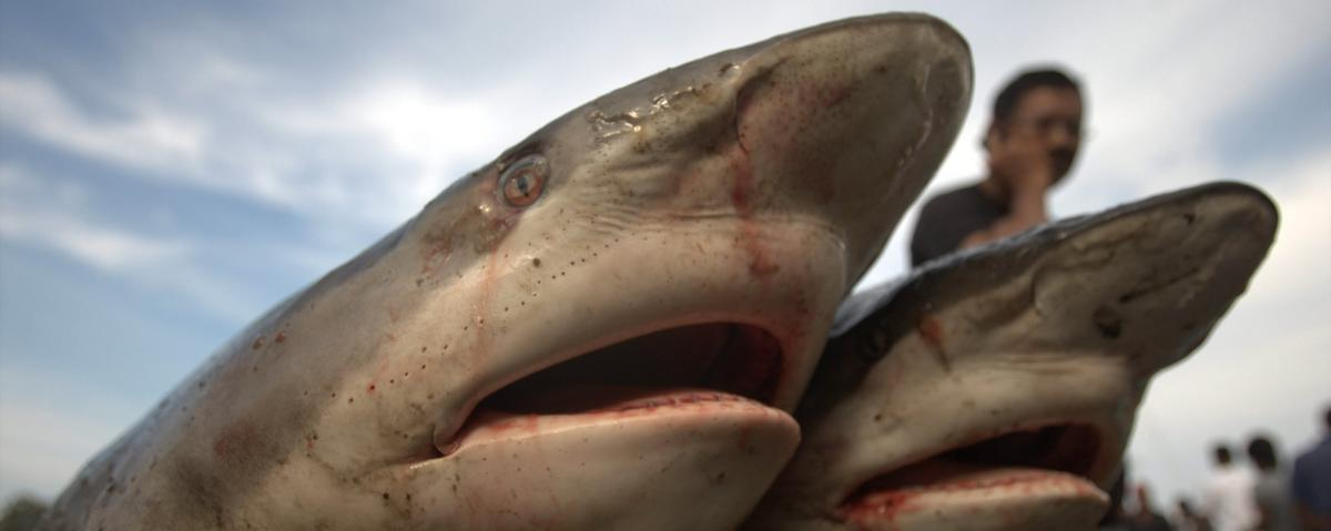 As Many as 11,000 Sharks Are Killed by Humans Every Hour