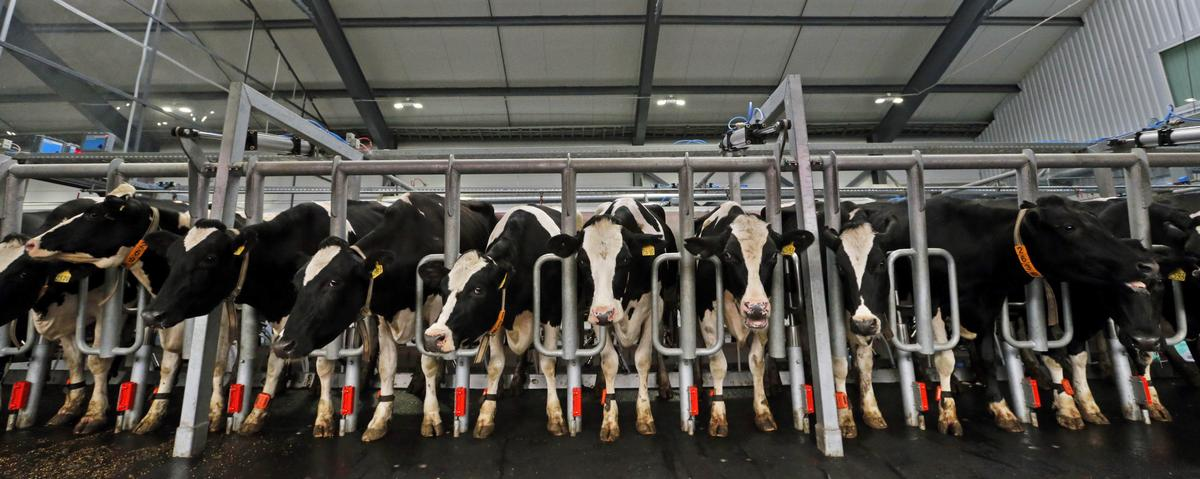Cow Farts and Belches Are Warming the Planet — but Scientists Think They've Got a Solution
