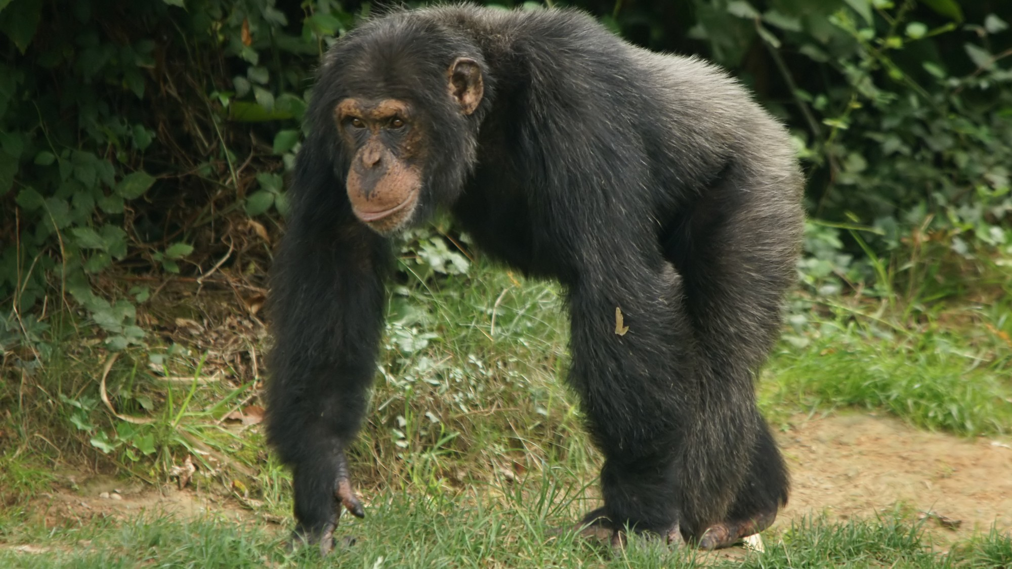 Will Protests and Donations Save the Chimps of 'Monkey Island'?