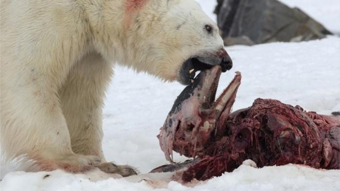 Polar Bears Are Now Eating Dolphins in the Arctic