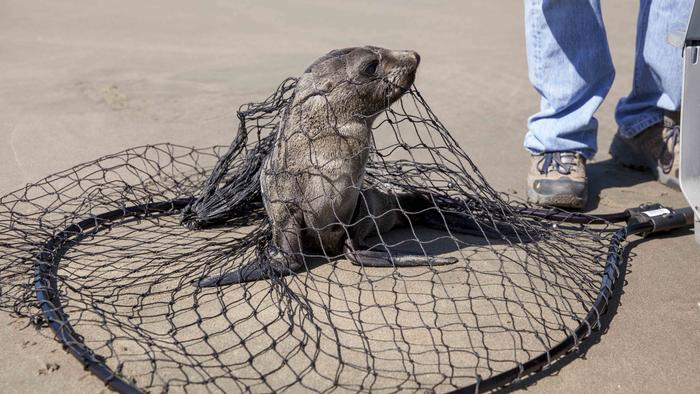 Fewer Sea Lion Pups Are Stranded This Year in California — Because So Many Died Last Year