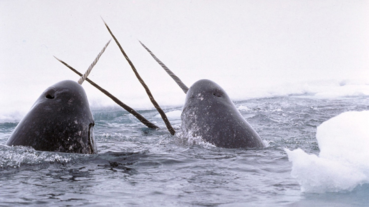 Inside the US-Canadian Smuggling Ring for Narwhal Tusks