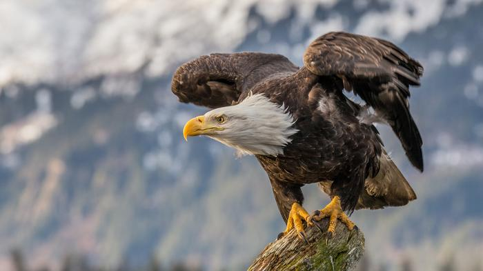 A Canadian Company Wants to Open a Mine Upstream From an Alaskan Bald Eagle Preserve