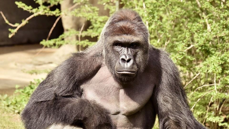 Video: Zookeepers Killed a Critically Endangered Gorilla After He Grabbed a Four-Year Old at the Zoo
