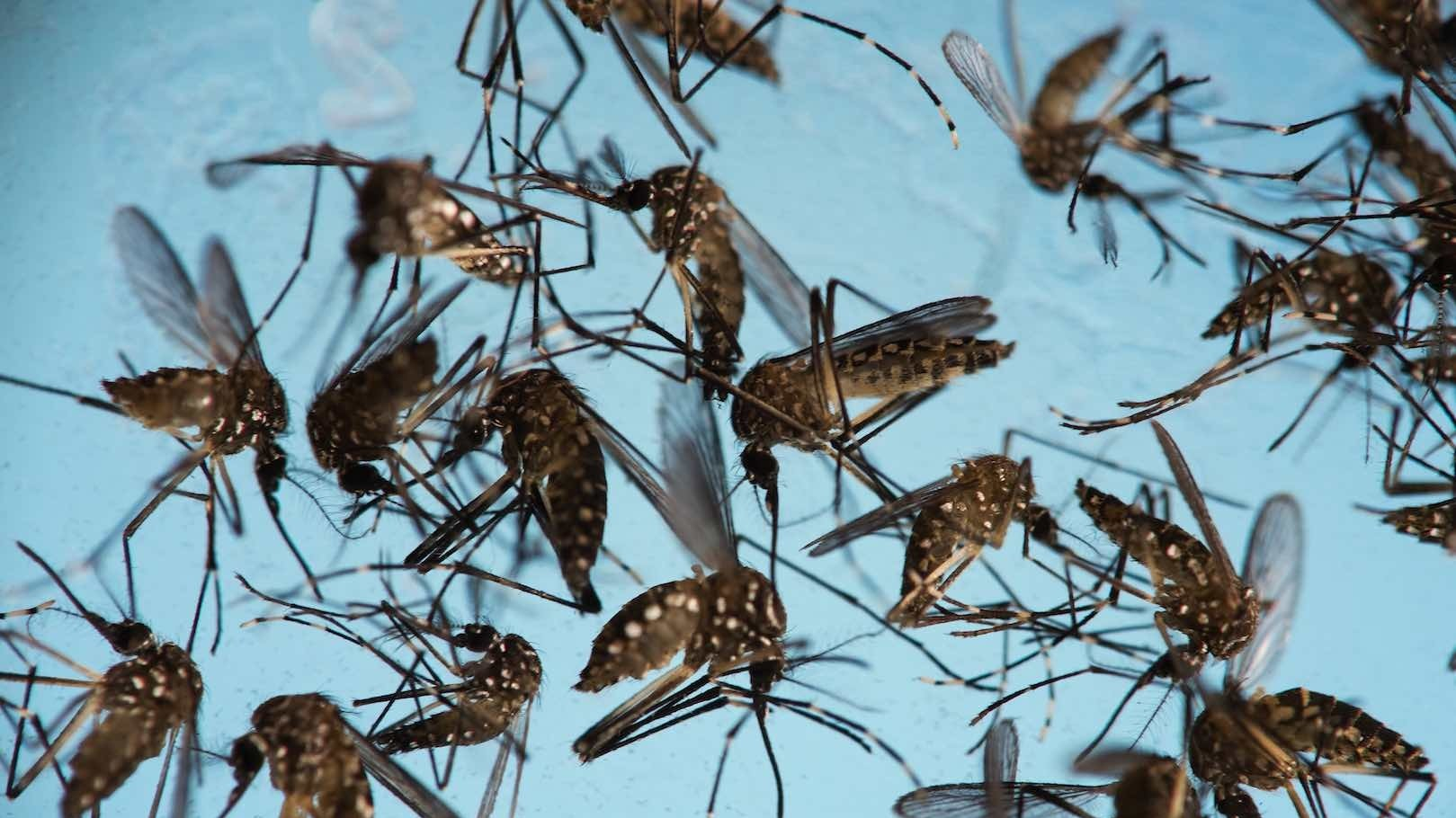 The solution to Zika could, in fact, be bacteria-armed mosquitoes